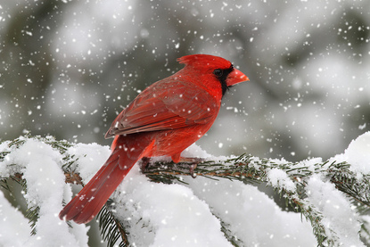 cardinal-in-snow clean 2