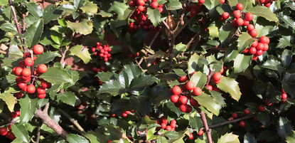 Holly Cropped