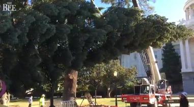 Cal Tree